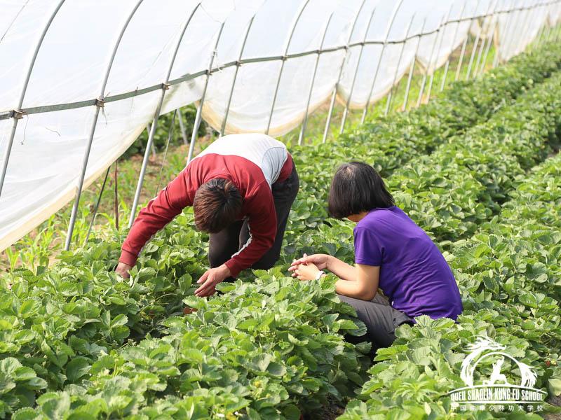 012_Picking_Strawberries
